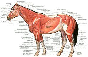 Hestens ydre muskler