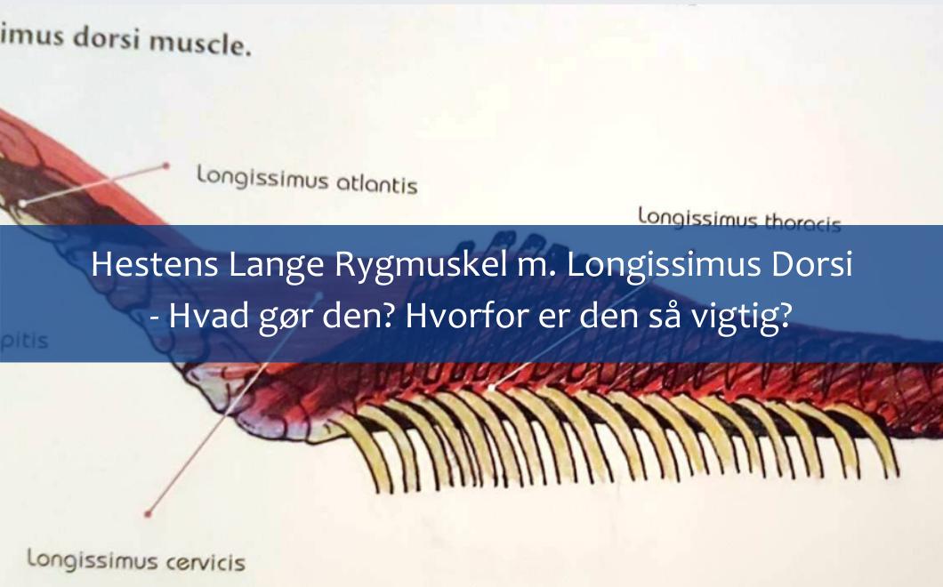 Hestens lange rygmuskel – m. Longissimus Dorsi – Hvad gør den? Og hvorfor er den vigtig?